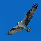 Flying Osprey by Randall Ingalls