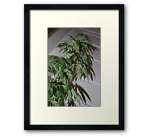 Marijuana Framed Print
