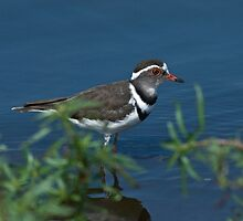 Three-banded Plover by KAREN SCHMIDT