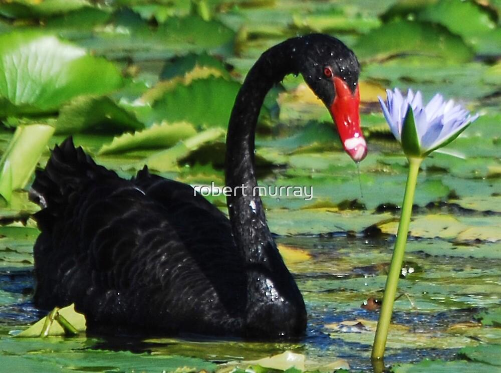 Black Swan 2 by robert murray