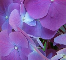 Hydrangea in my back-yard by CJuanita