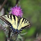 Female Eastern Tiger Swallowtail by RebeccaBlackman