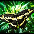 Giant Swallowtail  by Saija  Lehtonen