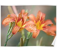 Day lily during a summer rain shower Poster