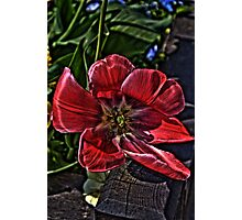 tulip in hdr Photographic Print