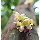 Cacao Flower by Chid Gilovitz