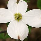 Dogwood by Connie Bunke