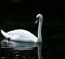 Majestic Swan on The Grand Western Canal,Tiverton,UK by David-J
