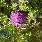 Six-spot Burnets and thistle by njar