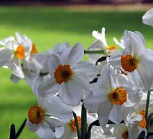 Daffodil Garden by carolinagirl10