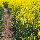 Path in a Rapeseed Field by Nicholas Jermy