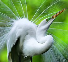 Breeding Egret Eye to the Sky by Joe Jennelle