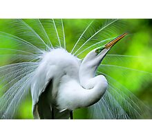 Breeding Egret Eye to the Sky Photographic Print