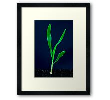 Sweatcorn seedling Framed Print