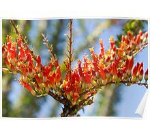 Southwest Ocotillo Bloom Poster