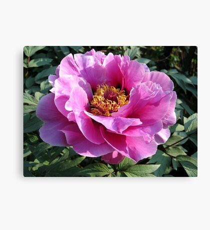Blooming perfectly... Canvas Print