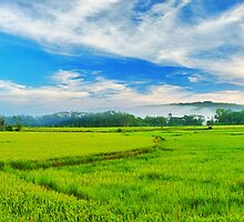 Paddy rice panorama by MotHaiBaPhoto Dmitry & Olga