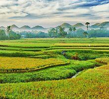 Paddy rice panorama by MotHaiBaPhoto Dmitry & Olga
