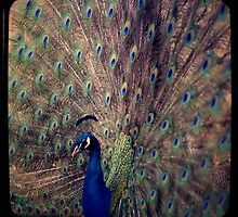 Peacock by silviareitsma