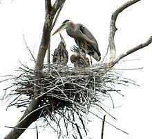 Great Blue Heron w/young by g richard anderson