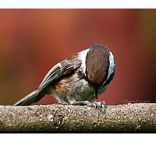 Chestnut-Backed Chickadee Opening a Sunflower Seed Photographic Print