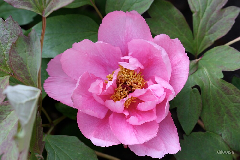 Tree Peony by dilouise