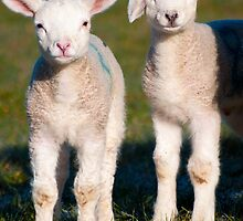 Spring lambs 'floppy' by johnfinney