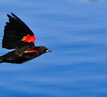 Red-Winged Blackbird by Daphne Eze