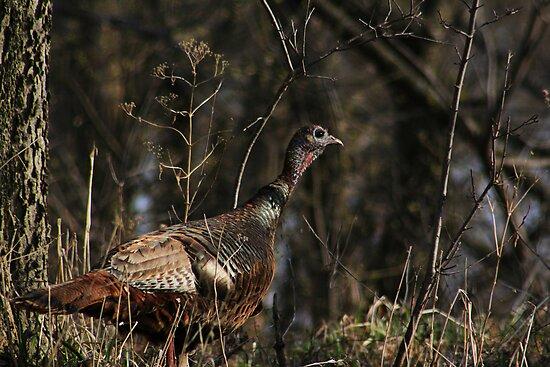 Female Wild Turkey by swaby