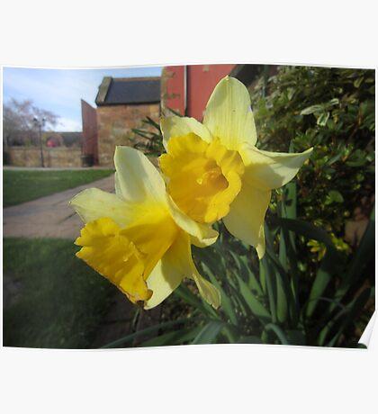 Daffodils in Gretna Poster