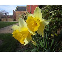 Daffodils in Gretna Photographic Print