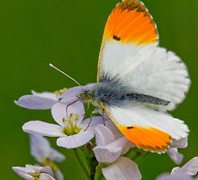 Male Orange-tip Butterfly by Neil Bygrave (NATURELENS)
