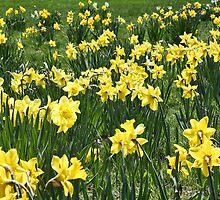 A Field Of Daffodils by daphsam