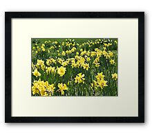 A Field Of Daffodils Framed Print