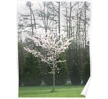 A Blossom Tree Poster
