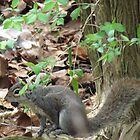 Grey Squirrel  by shawties-photos