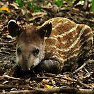 Lowland Tapir (Tapirus terrestris) - Bolivia by Jason Weigner