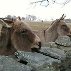 Donkeys by Dalmatinka