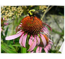 Big Bee On a Coneflower Poster