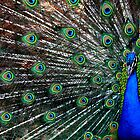Peacock by Eric  Williamson