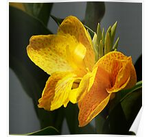 Canna Poster