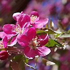 Crab-Apple blossoms by Noodlediggity