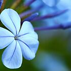 plumbago by FLLETCHER