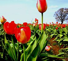 Tulips and Tree ... by Patricia  Butler