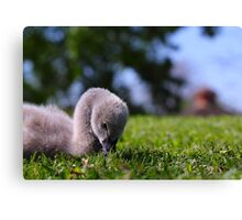 baby swan Canvas Print