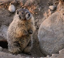 Marmot Sunset by Rodney55