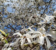 White Magnolia by whimsystation