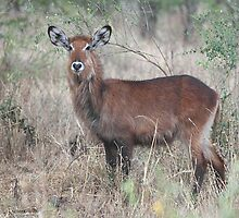 Defassa Waterbuck, Serengeti National Park, Tanzania.  by Carole-Anne