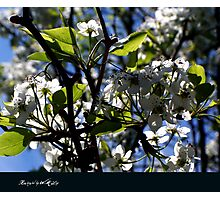 renewal (blossoms and light) Photographic Print