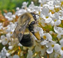 Busy Bumble Bee by MotherNature